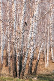 Birch grove at sunset in spring Stock Images