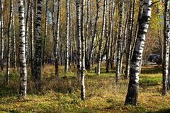 Birch Grove. Stock Images