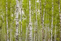 Birch. Grove of birch trees with green leaves in spring Stock Photo