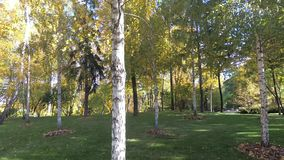 Birch grove, trunks of trees with leaves, windy weather. Autumn sunny landscape.  stock footage