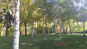 Birch grove, trunks of trees with leaves, windy weather. Autumn sunny landscape.  stock video footage