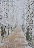 Birch grove under frost Royalty Free Stock Photography