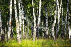 Birch grove in the Urals Royalty Free Stock Photography