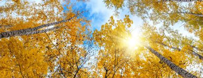Birch grove view of the crown of the trees and sky on sunny autumn day. Panorama, banner royalty free stock photo
