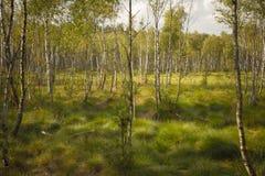 Birch grove Stock Photography