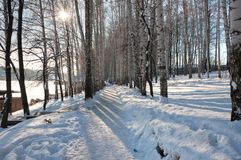 Birch grove in winter Royalty Free Stock Image