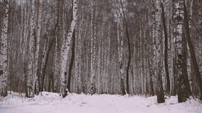 Birch grove in winter. Slow-motion stock video
