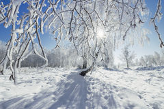Birch Grove winter sunny day Royalty Free Stock Photo