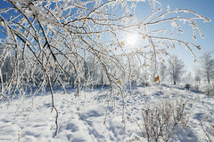 Birch Grove winter sunny day Royalty Free Stock Image