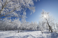 Birch Grove winter sunny day Stock Image