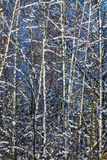 Birch grove in the winter. Thin trunks covered with snow interlace and make pattern at the background of blue sky Stock Photos