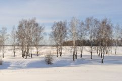 Birch grove in winter time Royalty Free Stock Images