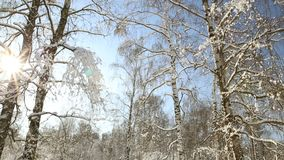 Birch grove in winter under snow on a clear day. Birch forest in the snow and frost on the background of the clear blue sky in the winter for Christmas stock video footage