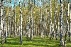 Birch grove Stock Image