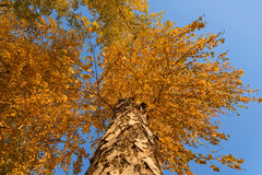 Birch high bottom view autumn Royalty Free Stock Photo