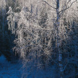 Birch in hoarfrost Royalty Free Stock Photos