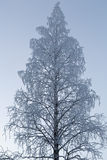 Birch in hoarfrost Stock Image