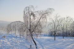 Birch in Ice Royalty Free Stock Photography