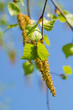 Birch inflorescences Stock Images