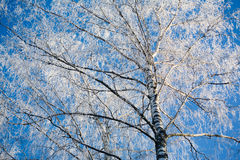 Birch inwinter Stock Images