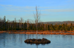 Birch on island Stock Photography