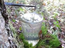 The Birch juice. Stock Photos
