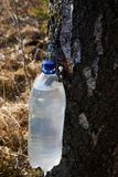 Birch sap drips into a plastic container  in early spring stock images