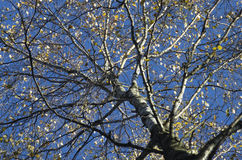 Birch krone. With rare leaves against the background of the blue sky late fall Royalty Free Stock Image