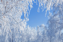Birch Lace winter Royalty Free Stock Images