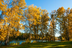 Birch lake forest autumn Royalty Free Stock Images