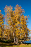 Birch lake forest autumn Stock Photo