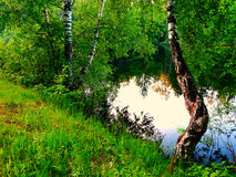 Birch on the lake. Nature summer trees leaves green season water Royalty Free Stock Photography