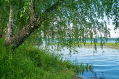 Birch on lake shore. Green grass and blue water, relaxation concept Stock Photos