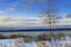 Birch - Lake Superior. A small birch tree at Harmony Beach, Northern Ontario Royalty Free Stock Photos