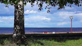 Birch on lakeside in breezy summer stock video