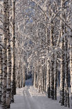 Birch lane. Stock Photography