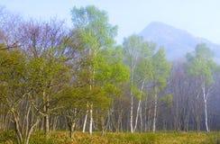 birch las Obrazy Stock