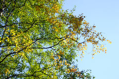 Birch in the late summer. Royalty Free Stock Photo