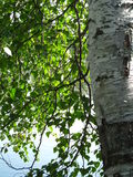 Birch. (Latin Bétula) - genus of deciduous trees and shrubs  family (Betulaceae).  is widespread in the Northern Hemisphere; in Russia is among the most common Stock Images
