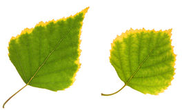Birch Leaf Royalty Free Stock Photo