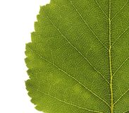 Birch leaf Royalty Free Stock Photos