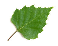 Birch leaf. On a white background Royalty Free Stock Photography
