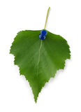 Birch leaf Stock Photography