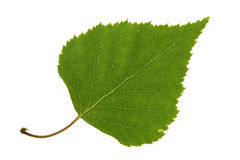 Birch leaf. Isolated on the white Royalty Free Stock Image