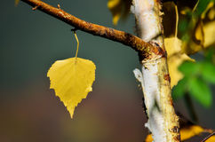 Birch leaf. Autumn detail in forest - the one and only yellow leaf, remained on birch branch Royalty Free Stock Images