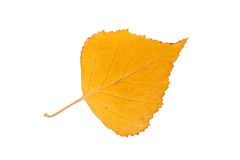 Birch leaf Royalty Free Stock Image