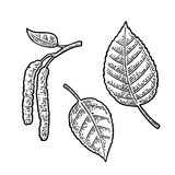 Birch leaf and buds. Vector vintage engraved illustration. Royalty Free Stock Images