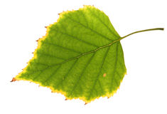 Birch leaf Royalty Free Stock Photos