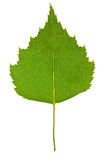 Birch leaf isolated Stock Photo