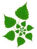 Birch Leaf Pattern Royalty Free Stock Photo